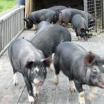 ホエーミルク豚2010-2